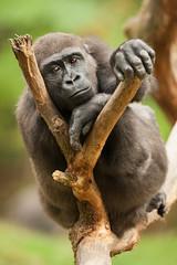 2014-10-11-14h10m58.272P5062 (A.J. Haverkamp) Tags: zoo gorilla thenetherlands apenheul apeldoorn dierentuin httpwwwapenheulnl dob12042008 wimb pobapeldoornthenetherlands canonef500mmf4lisiiusmlens
