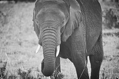 A portrait of an elephant (ctscsq) Tags: favorite fall nikon october kenya sister selection safari fav 2014 18200mm d90 tamron200500mm