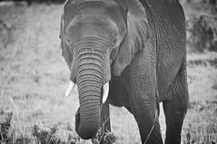 A portrait of an elephant (ctscsq) Tags: favorite fall nikon october kenya sister selection safari fav 2014 18200mm d90 tamron200500mm