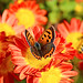 Small Copper on Wild Chrysanthemum / キクにとまるベニシジミ