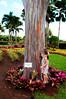 Rainbow Tree (KelliCampbell) Tags: notphotoshopped realtree rainbowtree amazingtree hawaiiantree notpainted createdbygod justplaincool mindanaotree