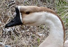 Palencia (Sheepdog Rex) Tags: geese palencia