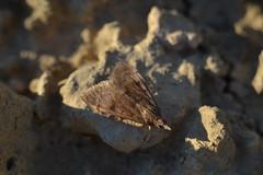 Polilla (esta_ahi) Tags: barcelona españa insectos fauna spain moth lepidoptera pyralidae penedès polilla испания cantallops mariposilla