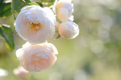 """rose, """"Rose-Marie"""" (snowshoe hare*(back and slowly catching up)) Tags: rose rosemarie botanicalgarden englishrose davidaustin    dsc6944"""