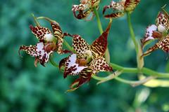Odontoglossum cordatum (Orchidee) (betadecay2000) Tags: plant orchid flower fleur pflanze bloom orchidee blume blte odontoglossum regenwald cordatum sdamerika mittelamerika nebelwald epiphyt epiphytisch nebelwlder odontoglossumcordatum
