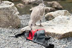 Curious (Bert (A.H.) Roos) Tags: nature birds wales bag unitedkingdom young culture vogels natuur tas juvenile larusargentatus jong gwynedd herringgull zilvermeeuw juveniel