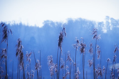 Reed bed (Nick_Rowland) Tags: mist lake reeds sussex ashburnham