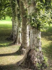 Santena2014_PA052856 copia (stegdino) Tags: tree four repetition trunk albero tronco quattro gamewinner challengeyouwinner pregamewinner