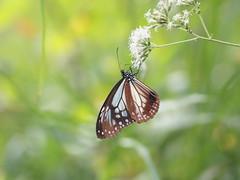 (Polotaro) Tags: nature pen butterfly bug insect olympus  zuiko ep1 10         mzuikodigital45mmf18