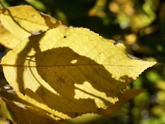 L'ombre de l'lphant (JMVerco) Tags: autumn shadow fall automne leaf ombra autunno feuille coth fogliaombre