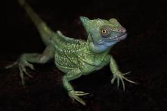 Iguanidae Iguanidae 2 Divci Kamen
