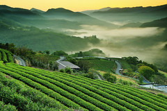 Zen (Singer ) Tags: mist mountain tree green fog composition sunrise canon garden iso100 tea hill taiwan atmosphere f10 zen plantation singer layer     oneshot seaofclouds               39mm 12sec            canon6d     canonef2470mmf28liiusm       singer186