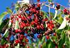 black cherry in fruit (ophis) Tags: prunus blackcherry rosaceae prunusserotina
