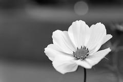Flower in Balck and White (myfrozenlife) Tags: autumn trees england blackandwhite nature canon bristol unitedkingdom 7d