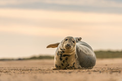 Grey Seal (Rob'81) Tags: uk wild beach nature sunrise grey sand october britain wildlife norfolk seal british