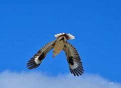 DSC_0025 (2) (RUMTIME) Tags: bird nature birds fly flying flight feathers feather queensland kookaburra coochie coochiemudlo