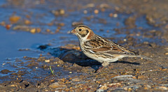 IMG_1153 Lapland bunting (steve.ray50) Tags: 2014 swalecliff