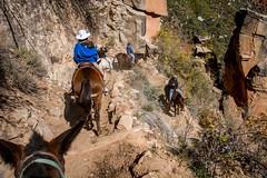 Steep Descent, Grand Canyon NP (AnnaPirata) Tags: arizona grandcanyon northrim grandcanyonnationalpark northkaibabtrail muleride supaitunnel grandcanyontrailrides fujixe1