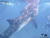 Tuki pa More (rigel4taleza) Tags: whaleshark butanding oslob