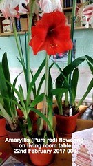 Amaryllis (Pure red) flowering on living room table 22nd February 2017 003 (D@viD_2.011) Tags: amaryllis pure red flowering living room table 22nd february 2017