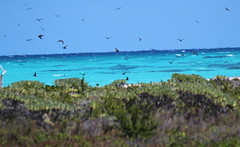Canon2017.03.17 2924 (seahorse19911) Tags: birds brittanyanddadsvisit canon20170317 florida floridakeys drytortugas
