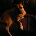 Drama dog thumbnail