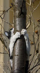 Wait, Mr. Blue Tit ... (AnyMotion) Tags: mira tree baum climbing kletternd huntingattempt jagdversuch pet cat cats katze katzen animals tiere garden garten 2017 anymotion blackandwhite schwarzweis blancoynegro félin chat gata 7d2 canoneos7dmarkii