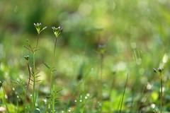 A little light (siebensprung) Tags: wildflower flower blume wildblume wiesenschaumkraut wiese meadow wild knospe aufblühen bud nature natur garden garten cardaminepratensis ladyssmock cuckooflower