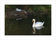 Parental pride (andyrousephotography) Tags: worsley bridgewatercanal canal spur delph shallows sachahouse swans parent parental nesting nest eggs hatching pride waiting reflection andyrouse canon eos 5d 5d3 mkiii