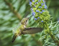 Hummingbird, Female (johndbillig) Tags: bees 70300 f4556 osssony bowens15beautydish strobe flashpoint annas hummingbird santa paula california spring backyard bird sony a6500 70300mmgf4556 female zoomlion flowers hss 1200ws godox