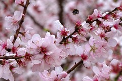 volo via (fotomie2009) Tags: pruno prunus insect insecta insetto bumble bee flora flower fiore fleur flor pink