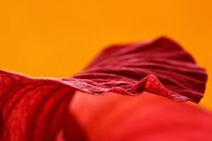 red silk II (notpushkin) Tags: red rot hibiskus flower petal