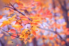Yellow Fall Leaves, autumn background (♥Oxygen♥) Tags: fall autumn background foliage red branch texture autumnal environment forest leaf orange seasonal landscape park plant acerpalmatum bokeh bright closeup colored country natural november october saturated sunlight tree color yellow leave autumnmaple change colorful detail golden jungle lush nature orangemaple outdoor violet purple