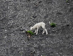 young dall sheep along dempster highway yukon (Pete Read) Tags: young dall sheep along dempster highway yukon