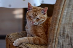 Harry is feeling sleepy after another busy day :) (eddcellentcats) Tags: cat cats kitty kittycat nikon d750 sigma sigmalens