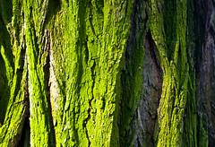 Old Tree Lichen Bark 1 of 2 (Orbmiser) Tags: 55200vr d90 nikon oregon portland spring tree trunk bark lichen