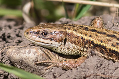 Basking in spring sunshine - Common Lizard (Ian-S) Tags: lizard basking commonlizard england uk wildlife norfolk