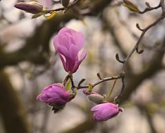 Magnolia (careth@2012) Tags: magnolia flower spring nature petals
