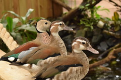 Teal (Fimcm84) Tags: teal teals amazonia bird birds