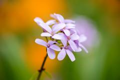 Mauve (Cyclase) Tags: bokeh spring deutschland color schauundsichtungsgarten blossoms weinheim blume frühling orange colour garden magenta tiefenschärfe violett garten violet park vibrant purple mauve green colorful colourful