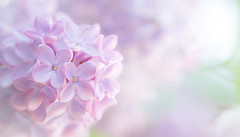 Lilac Clouds (paulapics2) Tags: outdoor spring printemps frühling garden nature plant flower flora floral fleur shrub bush april pretty pastel macro season canoneos5dmarkiii sigma105mmf28exdgoshsmmacro depthoffield soft gentle delicate highkey dreamy