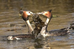 Great Crested Grebe (charlie.syme) Tags: grebe weed courtship wildlife killingworth northumbria nikon