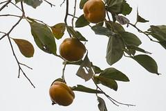 Ebenaceae: Diospyros sp. 2a (K. Zyskowski and Y. Bereshpolova) Tags: ebenaceae diospyros persimmon fruit china
