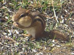 Around this time in 2015.. (DonaSite) Tags: ohio backyard chipmunk fullcheeks