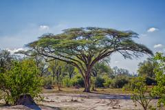 The beauty of an acacia (rachelsloman) Tags: kwai botswana acacia tree