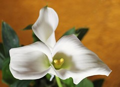 Zwillingscalla (assy_47) Tags: calla zwilling zwillingscalla seelenpartner blume flower
