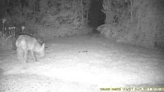 TrailCam221 (ohange2008) Tags: trailcam foxes essexgarden dogfood peanuts