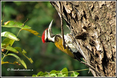 6791 - white-breasted woodpecker (chandrasekaran a 40 lakhs views Thanks to all) Tags: birds nature india chennai canon powershotsx60hs woodpecker