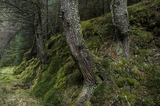 Trees on the Walk - Loch Eck Loop March 2017