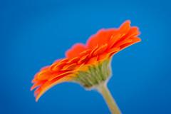 Orange meets Blue (Karsten Gieselmann) Tags: 60mmf28 blau blumen blüten bokeh dof em5markii farbe gerbera mzuiko macromondays makro microfourthirds natur olympus orange pflanzen schärfentiefe blossom blue color flower kgiesel m43 mft nature orangeandblue